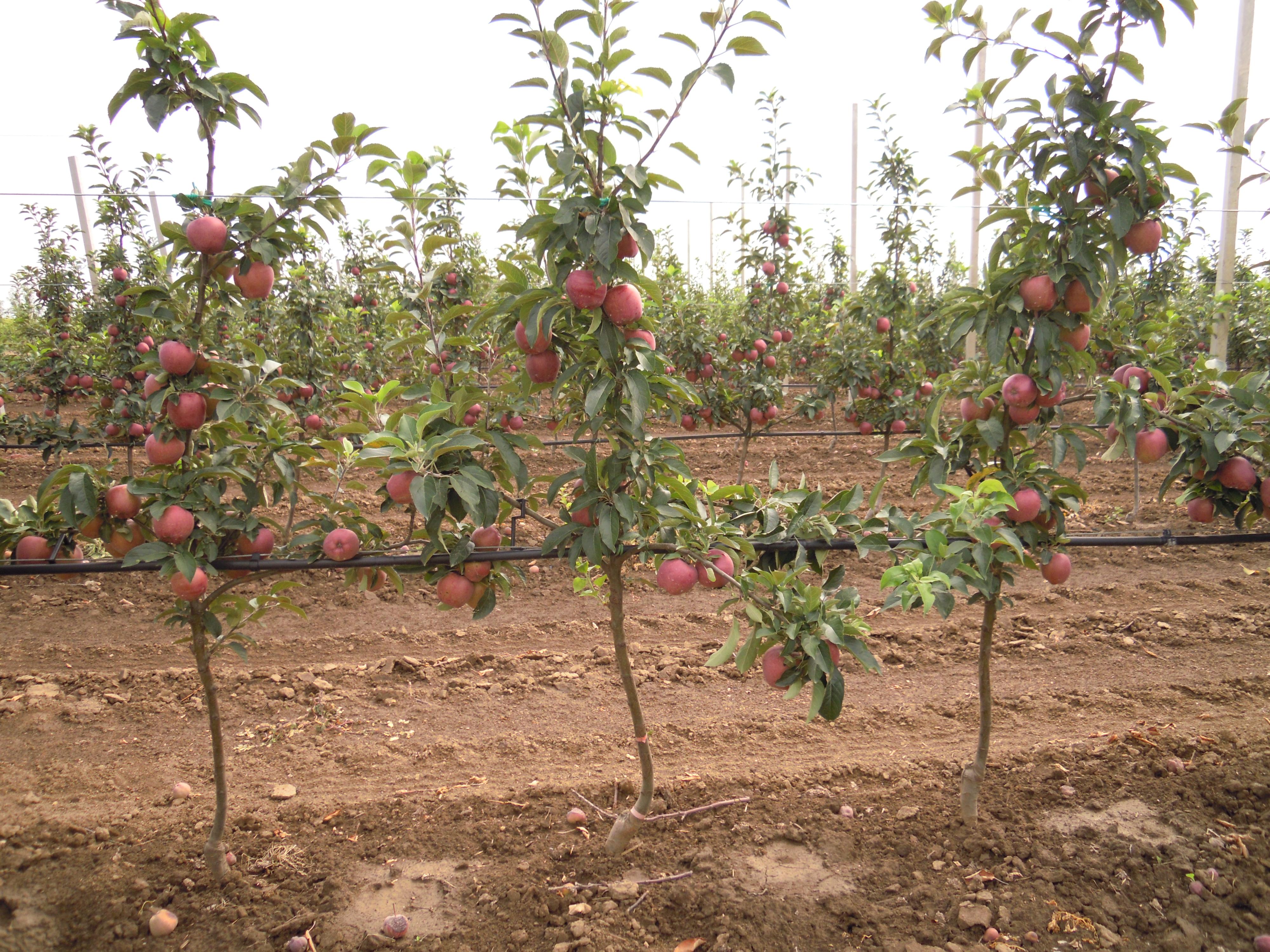Prihrana jabuke, Nutri Fos-K i Nutri BS-95