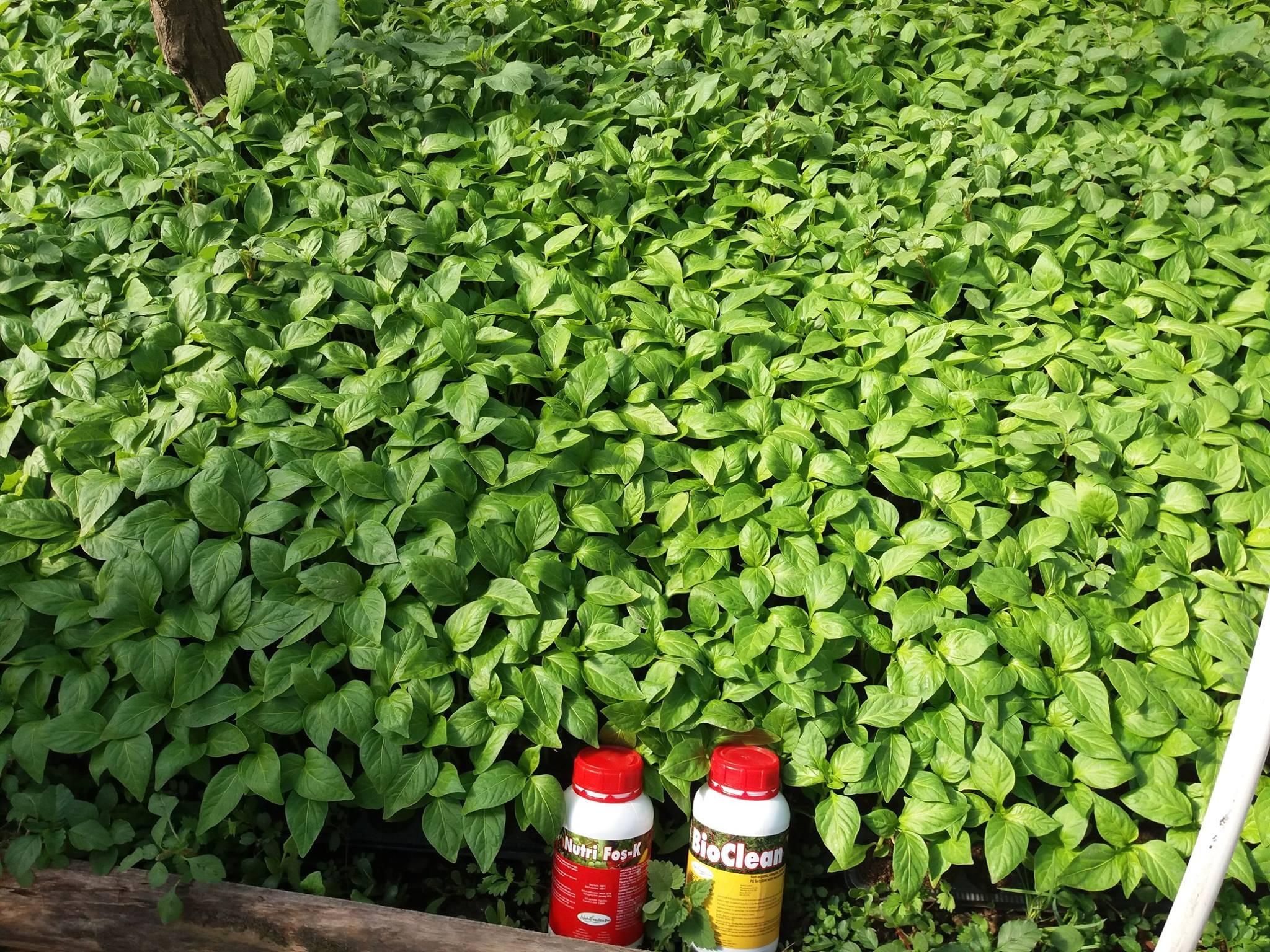 Kombinacija Nutrileaders preparata za proizvodnju rasada povrća: