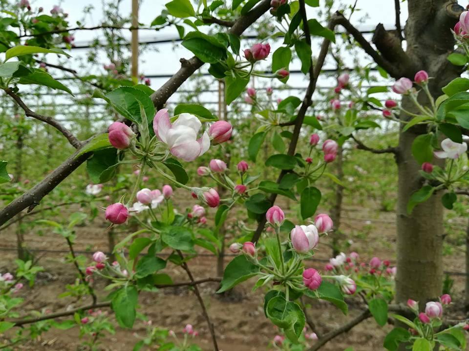 U ovoj fazi se jabuka tretira sa Nutri BS-95 za proredu.